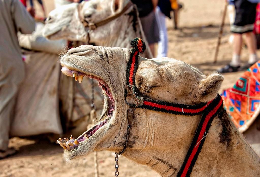 jazda-na-wielbladzie-ryczacy-wielblad-odwaz-sie-wiedziec-fair-travel-event